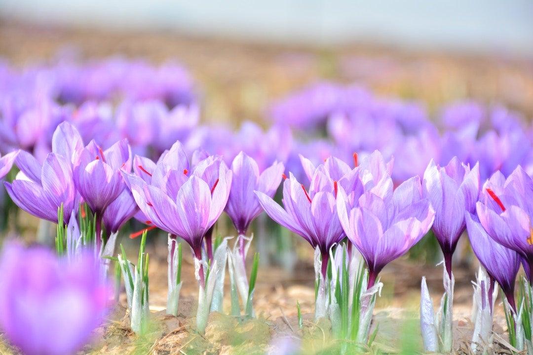 Meadows full of saffron